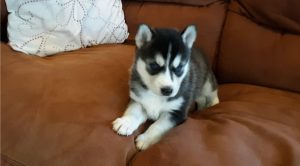 siberian-husky-puppy-picture-aaa90e84-4c6f-4321-89a0-d252efe32924